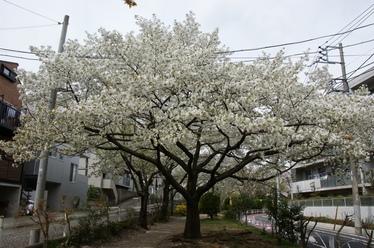 110411_sakuranoki.jpg